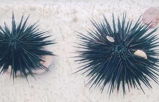 Sea urchin / shankaronline