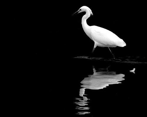 Egret's Regrets / naturesdawn